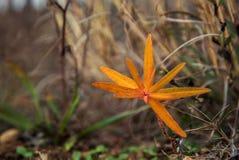Close-up van gele de herfst wilde bloem Stock Afbeeldingen