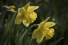 Close-up van gele gele narcisbloemen Stock Foto's