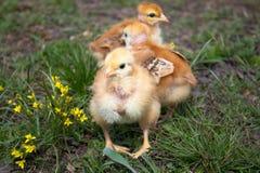 Close-up van gele kippen op het gras, Mooie gele kleine kippen royalty-vrije stock foto's
