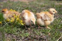 Close-up van gele kippen op het gras, Mooie gele kleine kippen stock afbeelding