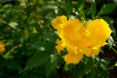 Close-up van gele klokbloemen op vage groene bladachtergrond royalty-vrije stock foto's
