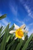 Close-up van gele narcissen tegen een blauwe hemel Stock Foto's