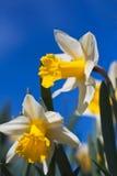 Close-up van gele narcissen tegen een blauwe hemel Royalty-vrije Stock Foto's