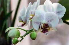 Close-up van gele, rode, roze en witte gestreept met de bloem Phalaenopsis van de puntenorchidee die als de Mottenorchidee wordt  royalty-vrije stock afbeeldingen