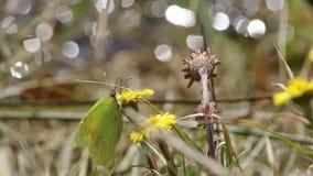 Close-up van gele vlinder op paardebloem stock video