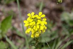 Close-up van gele wildflower in de lente royalty-vrije stock afbeeldingen