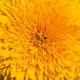 Close-up van gele zonnebloem Royalty-vrije Stock Fotografie