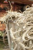 Close-up van gemaaide tarwe op een kar voor historische dorser stock afbeeldingen