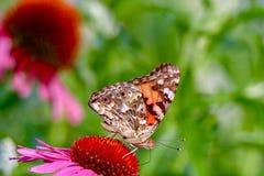 Close-up van Geschilderd Dame Butterfly die aan het recht onder ogen zien terwijl het zitten op een roze coneflower Royalty-vrije Stock Fotografie