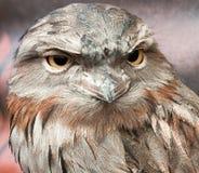 Close-up van getaand frogmouthgezicht stock fotografie