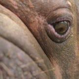 Close-up van gezicht van een een vrouwelijke walrus of Odobenus-rosmarus royalty-vrije stock foto