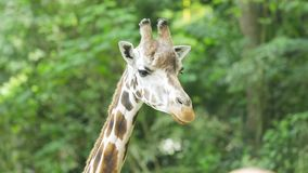 Close-up van giraf bij de dierentuin stock footage