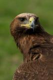 Close-up van gouden adelaarshoofd en hals Stock Fotografie
