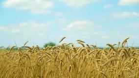 Close-up van gouden die oren van tarwe door wind op grenzeloze blauwe hemel als achtergrond worden gegolft stock footage
