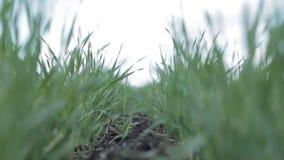 Close-up van Gras Het groene gras groeit van de aarde stock videobeelden