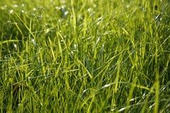 Close-up van grassprietje Stock Fotografie