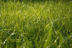 Close-up van grassprietje, kleine diepte van gebied Stock Fotografie