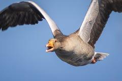 Close-up van greylag het imigrating van gansanser Anser stock foto's