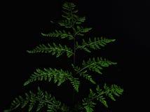 Close-up van groen die varenblad op zwarte achtergrond wordt ge?soleerd stock foto's