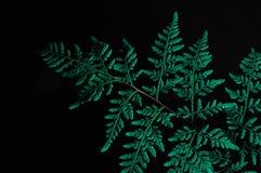 Close-up van groen die varenblad op zwarte achtergrond wordt ge?soleerd stock fotografie