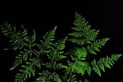 Close-up van groen die varenblad op zwarte achtergrond wordt ge?soleerd stock foto