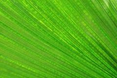 Close-up van groen weelderig palmblad voor achtergrond Royalty-vrije Stock Afbeeldingen