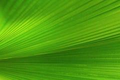 Close-up van groen weelderig palmblad voor achtergrond Stock Afbeelding