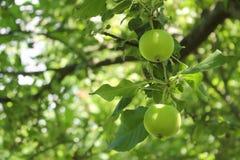 Close-up van groene appelen op een boom stock afbeelding