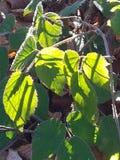 Close-up van groene bladeren De herfst Royalty-vrije Stock Foto