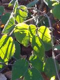Close-up van groene bladeren De herfst Stock Foto's