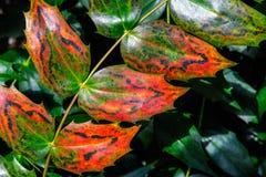 Close-up van Groene en Rode Engelse Holly Leaves Stock Afbeeldingen
