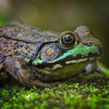 Close-up van groene kikkerzitting op een groen bemost logboek royalty-vrije stock foto's