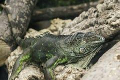 Close-up van groene leguaan Royalty-vrije Stock Afbeeldingen