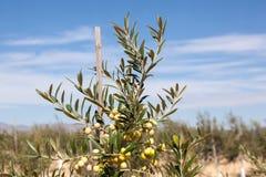 Close-up van groene olijfboom Stock Foto