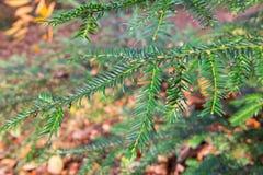 Close-up van groene spartak voor de natuurlijke achtergrond door zonlicht Royalty-vrije Stock Fotografie