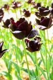 Close-up van groepen grote donkere violette tulpen in het park van de hitachikust royalty-vrije stock foto's