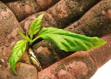 Close-up van grond-gestolde hand die een groene spruit houdt Stock Foto