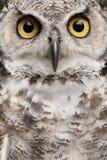 Close-up van Grote Gehoornde Uil royalty-vrije stock afbeelding