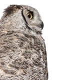 Close-up van Grote Gehoornde Uil, Bubo Virginianus Subarcticus royalty-vrije stock afbeelding