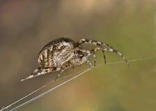 Close-up van grote spin op spinneweb stock foto