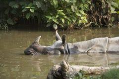 Close-up van grotere één-gehoornde rinoceros in Nepal Stock Foto's
