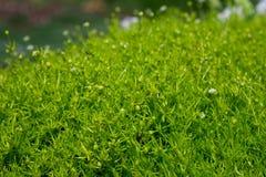 Close-up van Heath Pearlwort Lawn Sagina-subulata stock fotografie
