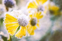 Close-up van heleniumbloemen die met vorst worden behandeld stock afbeelding