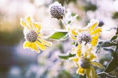 Close-up van heleniumbloemen die met vorst worden behandeld royalty-vrije stock foto's