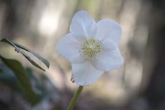 Close-up van Hellebore-bloem Stock Afbeeldingen