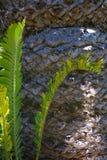 Close-up van het blad en de boomstam van Cycad royalty-vrije stock fotografie