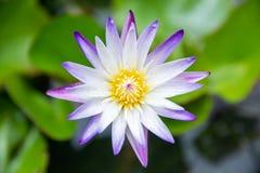 Close-up van het bloeien gele en purpere luim waterlily of lotusbloembloem royalty-vrije stock fotografie