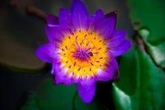 Close-up van het bloeien gele, purpere luim waterlily of lotusbloembloem Royalty-vrije Stock Foto