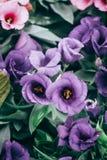 Close-up van het bloeien Lisianthus of Eustoma-installaties in tuin royalty-vrije stock foto's