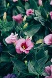 Close-up van het bloeien Lisianthus of Eustoma-installaties in tuin stock foto